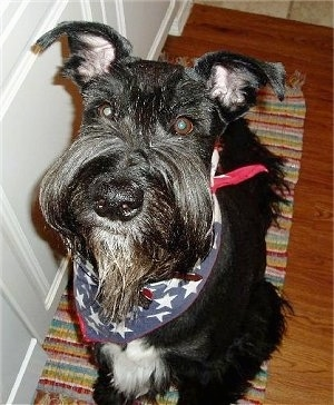 A black Giant Schnauzer is sitting on a throw rug that is on a hardwood fllor in front of a white door.