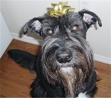 Close Up - A black Giant Schnauzer is sitting on a hardwood floor with a golden ribbon stuck to its head.