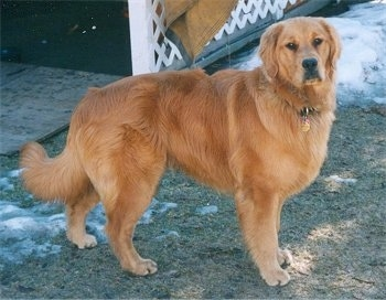 Old golden retriever pictures