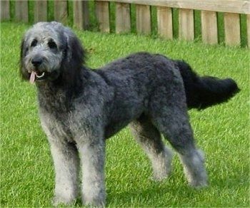 A grey with white and black Goldendoodle is standing in a yard there is a wooden fence behind it. Its mouth is open and tongue is out