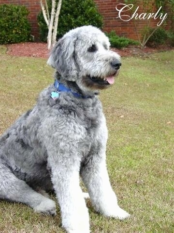 A grey Goldendoodle is sitting in a yard in front of a brick building. Its mouth is open and tongue is out. The word - Charly - is overlayed in the top right corner