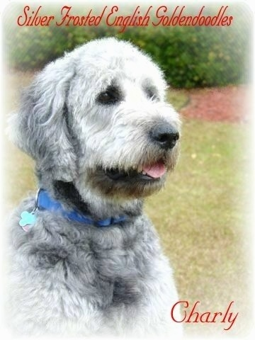 A silver-frosted Goldendoodle is sitting in grass. Its tongue is out. The words - Silver Frosted English Goldnedoodles - are overlayed in the top right corner. In the bottom right corner the words - Charly - are overlayed