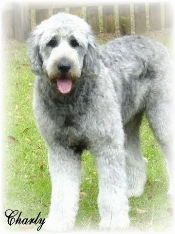 A silver-frosted Goldendoodle is standing in a yard. Its mouth is open and its tongue is out. The name 'Charly' is overlayed in black at the bottom left of the image.