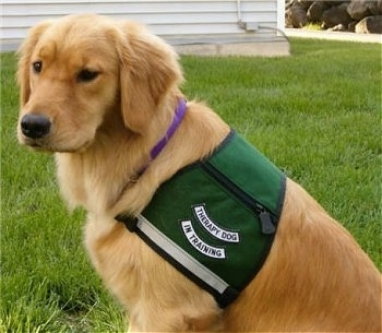 Side view upper body shot - A large breed, Golden Retriever dog is sitting in grass and it is wearing a vest with the words - Therapy Dog In Training - on it.