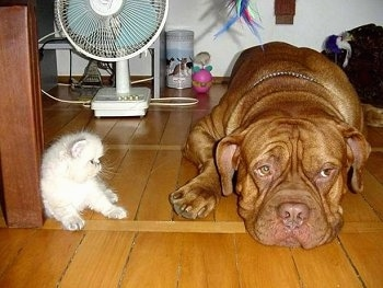 Patience the Dogue de Bordeaux is laying on the hardwood floor and Tolerance the white Persian kitten is sitting against a wood beam and looking at the dog