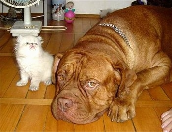 Patience the Dogue de Bordeaux is laying down on the hardwood floor and Tolerance the Persian kitten is sitting next to the dog looking up