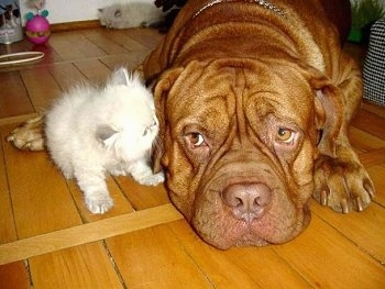 Patience the Dogue de Bordeaux is laying down on the hardwood floor and Tolerance the Persian Kitten is licking the dog's ear