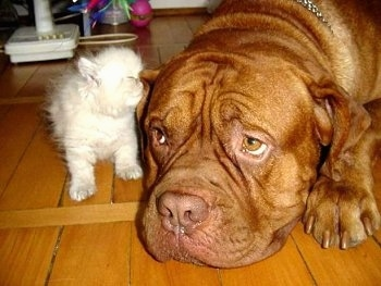 Patience the Dogue de Bordeaux is laying down on the hardwood floor and Tolerance the Persian Kitten is sniffing the dog's ear