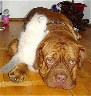 Patience the Dogue de Bordeaux is laying down on the hardwood floor and Tolerance the white Persian Kitten is climbing on the dog