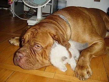 Patience the Dogue de Bordeaux is laying down on the hardwood floor and Tolerance the white Persian Kitten is laying between the dog's ear and paw