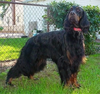 A black and tan Gorden Setter is posing outside in a yard in front of a chain link fence