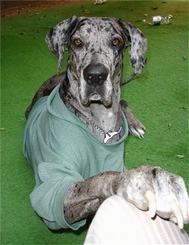 great dane dog breed pictures 6