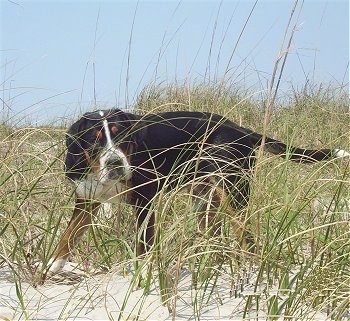 A tricolor black, tan and white Greater Swiss Mountain Dog puppy is walking through tall dune grass on a sandy beach.