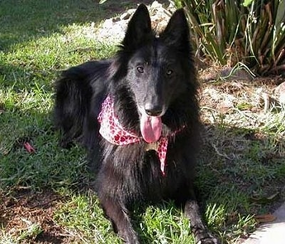 Luca the Belgium Shepherd wearing a red bandana laying outside with its mouth open and tongue out