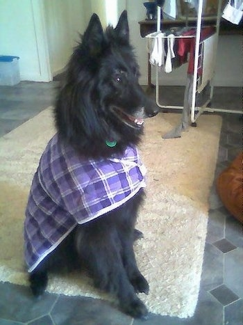 Left Profile - Luca the Belgium Shepherd wearing a purple jacket sitting on a rug looking to the left