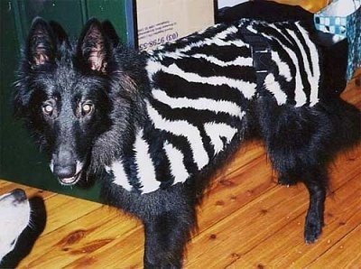 Luca the Belgium Shepherd wearing a zebra striped jacket and standing on a hardwood floor