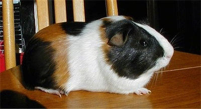 Close up - A shorthaired white, black and tan guinea pig is standing on a wooden chair and it is looking to the right.