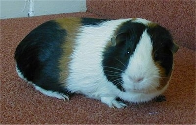 Close up - A white, black and tan guinea pig is standing on a tan carpeted step looking forward.