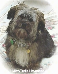 A black, tan, grey and white Havanese is standing on a rug with its head tilted to the righ.t