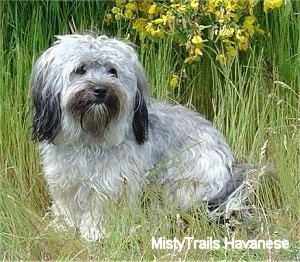 A grey and white with black Havanese is standing in tall grass with taller grass and yellow flowers behind it.