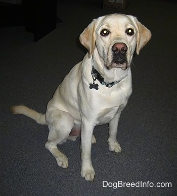 Front view - A large breed yellow Labrador Retriever is sitting on a gray carpet looking up.