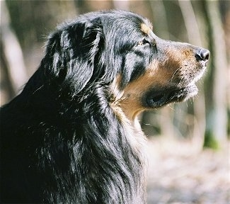 Close Up - The right side of a black and tan Hovawart dogs face
