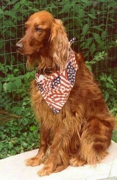 A red Irish Setter is wearing an american flag bandana sitting on a white surface out in a yard with a wire fence behind it