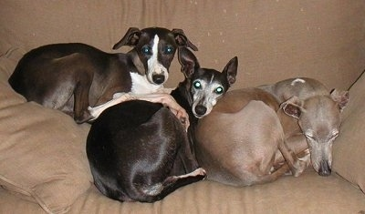 A pile of Italian Greyhounds laying on a tan couch