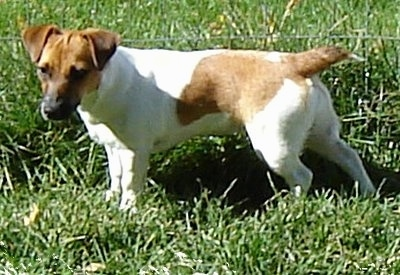 Side view - A white with tan Jack Russell Terrier is standing in grass with a wire fence behind it