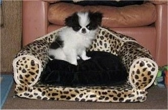 A small breed, fluffy, white with black Japanese Chin puppy is sitting on top of a small dog-sized cheetah print couch with a black cushion.