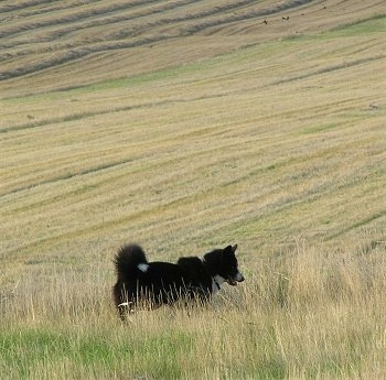 A black and white Karelian Bear Dog is standing in tall grass in a big field. Behind it is a mowed hillside