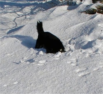 A black and white Karelian Bear Dog is digging a hole in the snow with its head down into the hole.