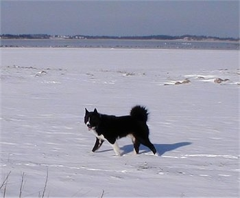 A black and white Karelian Bear Dog is walking across a snowy landscape with water in the background