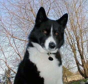 A black and white Karelian Bear Dog is sitting in grass. There are trees without leaves and a sky in the background