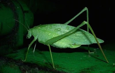 Right Profile - Adult Katydid with water drops on it