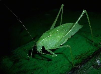 Adult Katydid with water drops on it on top of a green john deere tractor