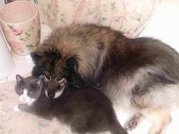 A Keeshond dog has its head over the back of a gray and white cat that is laying next to it. They are in a room decorated in pink roses on the wall paper, trash can and throw run.