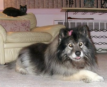 A Keeshond with a pink ribbon on its head is laying on a tan carpet. Behind it is a tan leather arm chair and on the back of the arm chair is a black cat