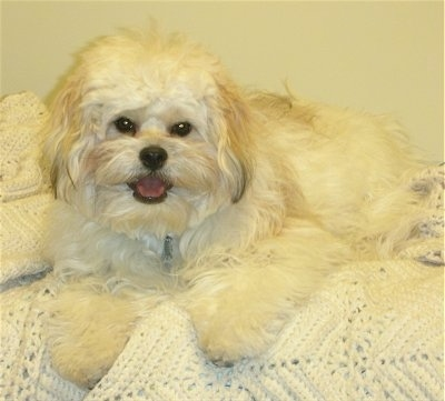 A happy looking white and tan Kimola is laying on a white knitted blanket on a bed.