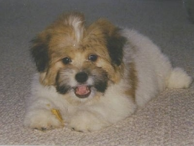 Jake, the  American Eskimo / Lhasa Apso mix (Kimola) at 2 months old