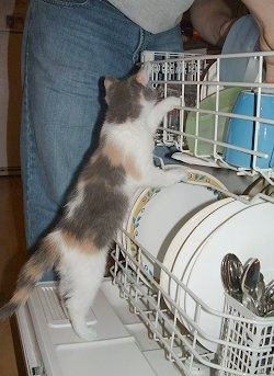 Chi-Chi the kitten is climbing in a dishwasher as a person is putting away dishes