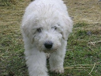 A white Komondor puppy is walking across grass and hay with its head down