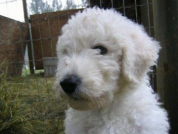 Close Up head shot - A white Komondor puppy is sitting in hay next to a wired fence at a farm