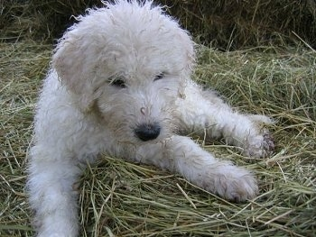 A white Komondor puppy is laying in hay and looking down