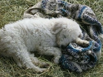 A white Komondor puppy is sleeping on top of a sweater that is in hay.