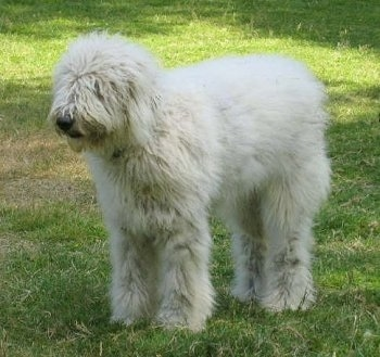 A white Komondor is standing in grass and looking to the left