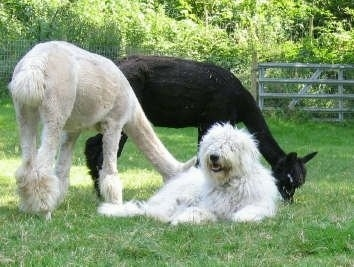 A white Corded Komondor is laying in grass with two Alpacas eating grass behind it