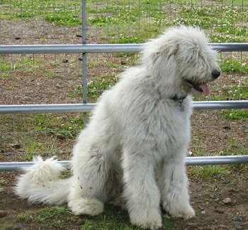 A white Komondor is sitting in dirt in front of a farm gate.
