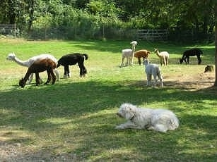 A white Corded Komondor is laying in grass with a herd of Alpacas behind it