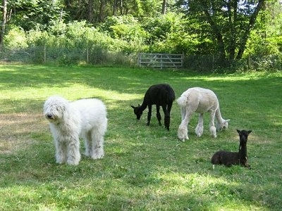 Karma the Komondor at 8 months with the herd of alpacas out in a grassy field with a wire fence and medal gate in the distance. Beyond the gate is a wooded area.
